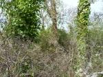 ivy-killing-garry-oaks-p1100401