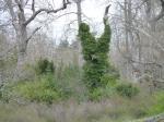ivy-killing-garry-oaks-p1100440