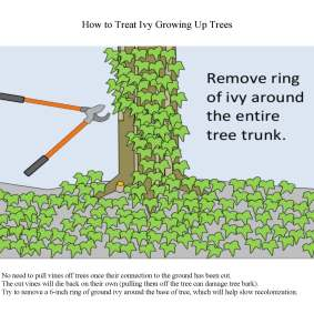 Best Practices for Ivy Removal